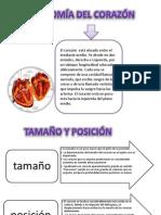 anatomia del corazon.pptx