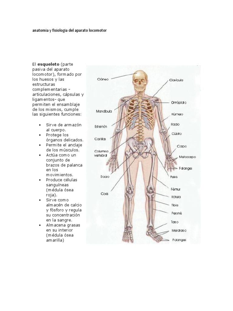 Asombroso Anatomía De Una Célula De Grasa Elaboración - Imágenes de ...