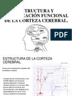 Estructura y localización funcional de la corteza cerebral.pptx