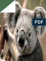 Koala.pdf