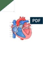 heart anatomy study