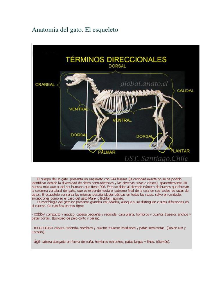 Anatomia del gato.docx
