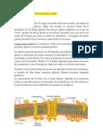 Estructura y funciones de la membrana celular.docx