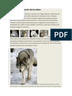 Hábitat y distribución de los lobos.docx