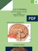 TALLO CEREBRAL-MED-UIS -VST.pdf
