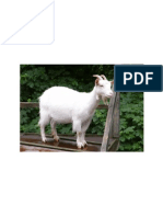 gambar kambing tugas.docx
