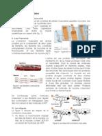la contraction musculaire.pdf
