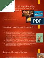Metamasious Hemipterus Sericeus.pptx