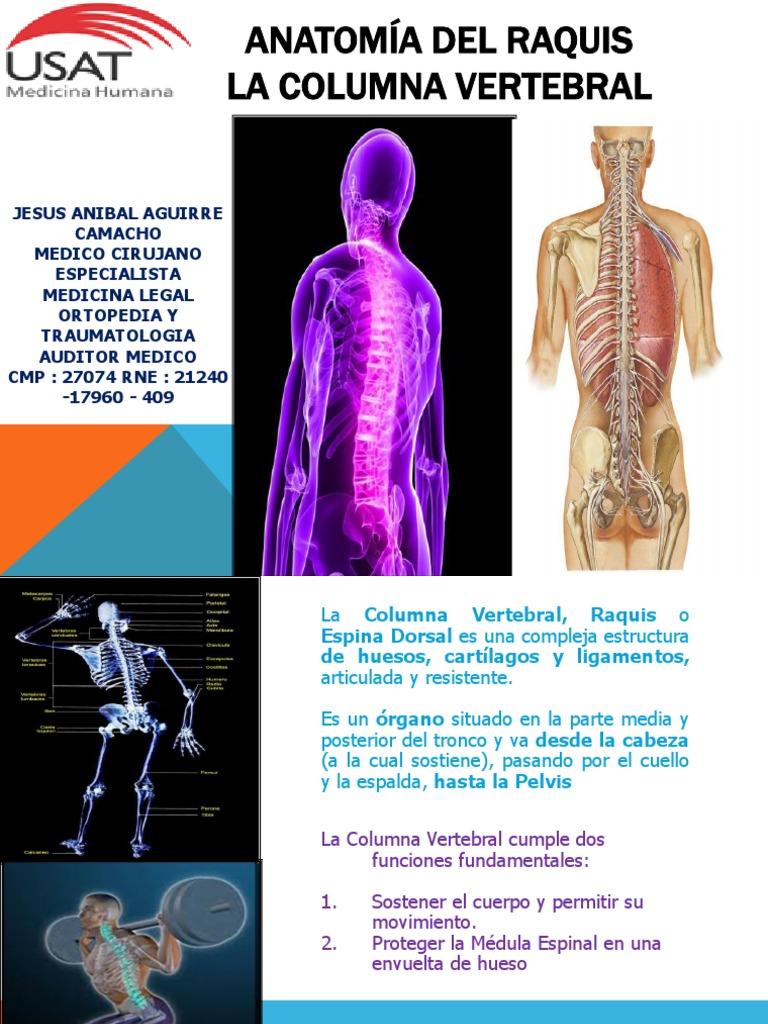Lujoso Anatomía De La Columna Vertebral Y La Espalda Adorno ...