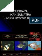 Budidaya Ikan Sumatra