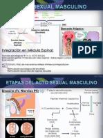 Fisiologia del Acto Sexual Masculino