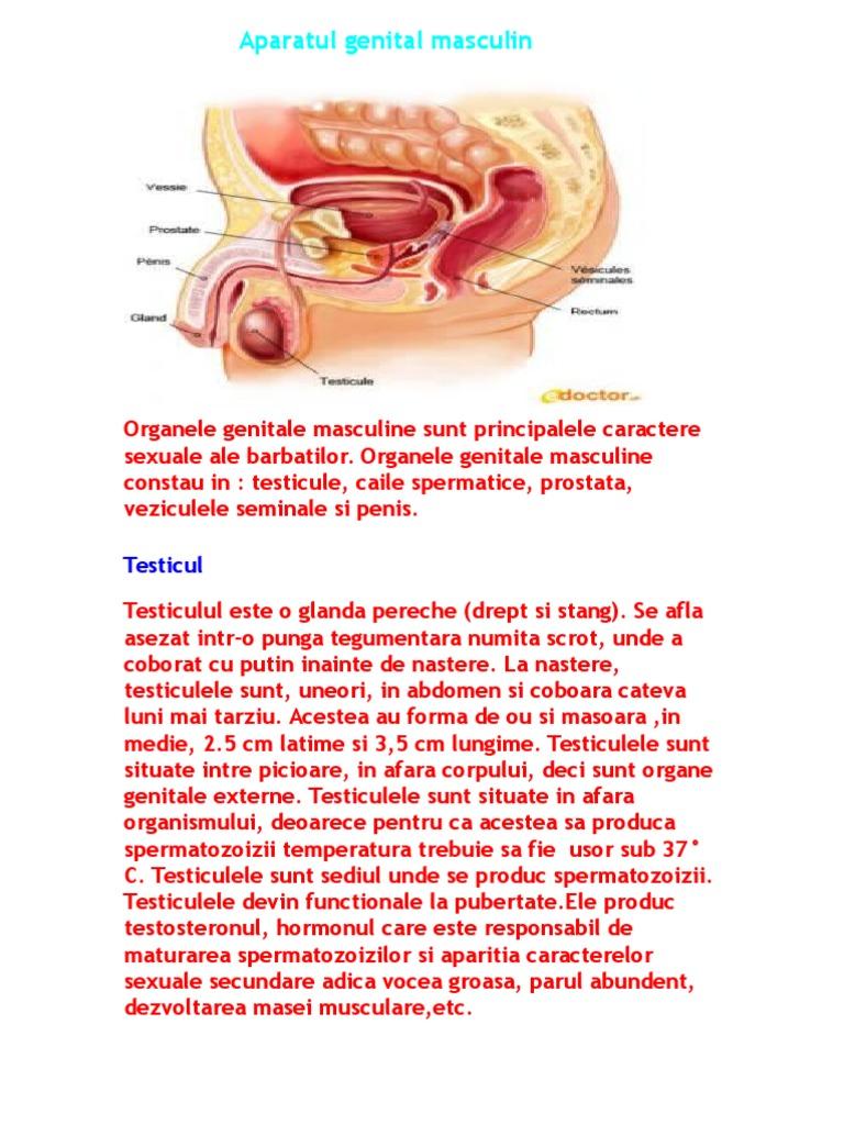 Organele genitale externe ale bărbatului | Zanzu