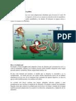 El sistema digestivo de la gallina.docx