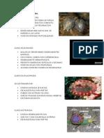 Phylum Mollusca Imprimir