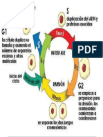 imagen del ciclo de una celula