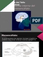 Anatomía interna del mesencéfalo