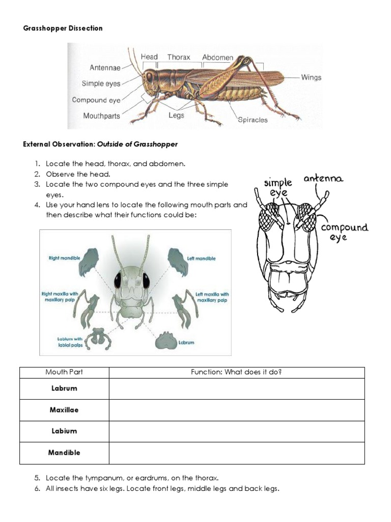 03b grasshopper dissection | Insects | Abdomen
