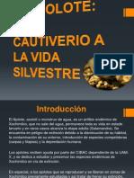 Presentacion Ajolote Ambystoma Mexicanum
