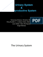 urinary system  reproductive system group ab