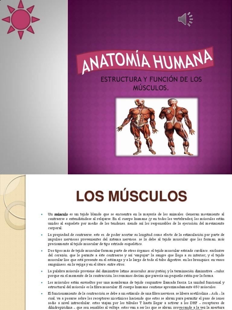 Anatomia Humana Musculos Powerpoint
