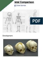skeletal comparison powerpoint