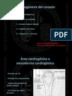 2.-+Organogénesis+del+corazón