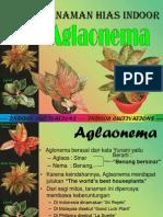 Aglonema