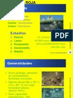 4.0 ARAñA ROJA.ppt