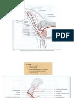 anatomia topográfica del miembro torácico.pdf