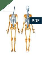 Anatomia Esqueletos