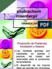 Macrobrachium 2 (Copia)
