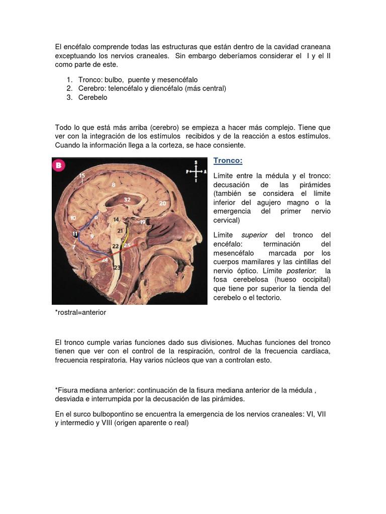 Tronco Encefalico, Cerebro y Cerebelo