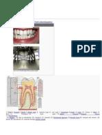 Human tooth.docx