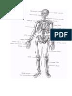 Articulatiile Corpului Omenesc.docx