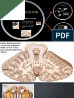 El Cerebelo (presentación)