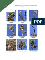 FLORA ASOCIADA a Polylepis Rugulosa