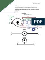 Bio Lecture 6-Neuro
