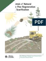 Lodgepole pine regeneration