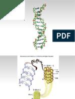 Δομή DNA - Χρωματίνη (1ο Κεφ)