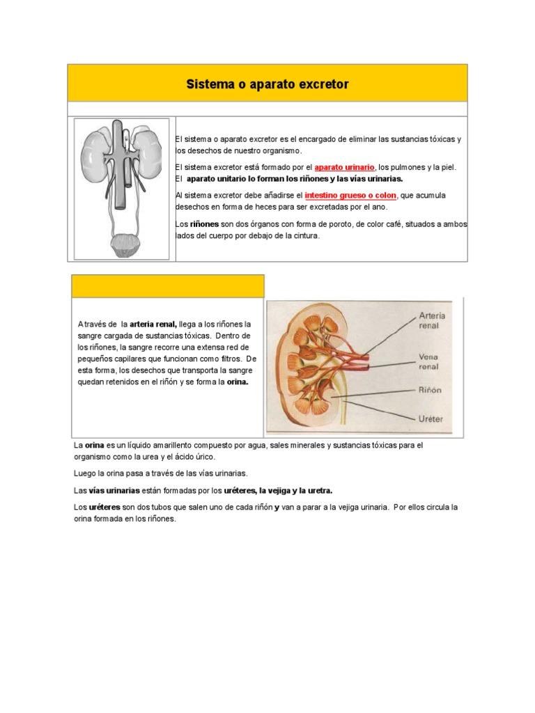 Sistema o aparato excretor.doc
