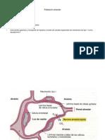 poblacion_alveolar