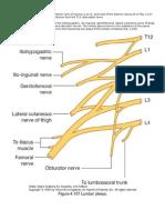 Lumbar plexus (Grays anatomy).docx