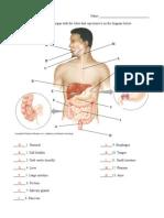 Digestive System Organs Answers