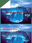 Sistem Reproduksi Pria 2