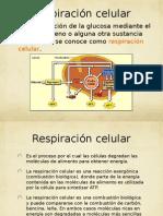 Fases de La Respiracion Celular