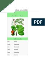 Castaña de  cajú - Anacardium Occidentale