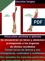 musculos sc2