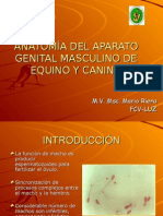 Anatomía Del Aparato Genital Masculino de Equino (1)