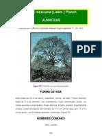 Ulmus Mexicana