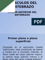 msculosdelantebrazocompartimientoanteriorrm9-111127050554-phpapp01